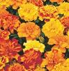 Marigold Bedding Plants