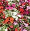 Busy Lizzie 'Impatiens' Bedding Plants