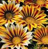 Gazania Bedding Plants