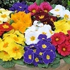Primula (Primrose) Bedding Plants