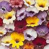 Nemesia Bedding Plants