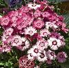 Dianthus Bedding Plants