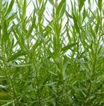 Herb Seeds - French tarragon