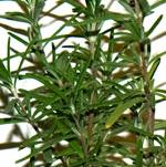 Herb Seeds & Plants - Rosemary